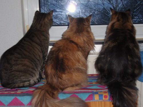 alle drei Katzen blicken aus dem Fenster