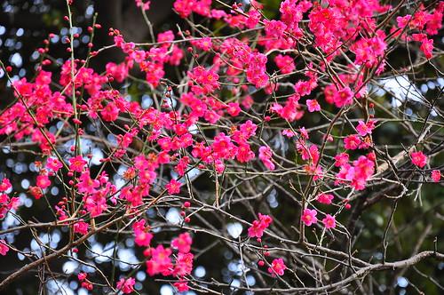 六郷土手の神社の梅