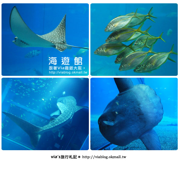 【via關西冬遊記】世界最大極的水族館~大阪海遊館19