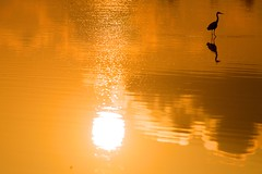 Look the other way (Kausthub) Tags: sun india reflection bird water sunrise crane availablelight handheld ripples chennai backwaters tamilnadu desikachar 2010 muttukadu canonef2xextender canoneos5dmarkii canonefllens canonef70200mmf28isusmllens