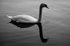 - o { (albi_tai) Tags: reflection water river reflex ticino swan nikon fiume acqua riflessi luce cigno d90 21100 sommalombardo fiumeazzurro nikond90 lifebeautiful estremit albitai