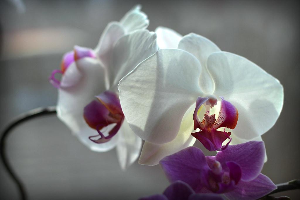 orchids 081x