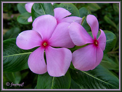 Catharanthus roseus (purplish-pink)