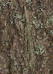 Usnea scabrata 'Straw Beard Lichen' (?) (dougwaylett) Tags: canada alberta lichens usnea fruticose brownloweryprovincialpark usneascabrata strawbeardlichen