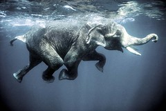 Swimming elephant (O.Blaise) Tags: ocean mer india elephant swimming swim underwater dive diving archipelago nage asianelephant inde elephasmaximus sousmarin andamanislands havelok swimmingelephant theindiatree flickraward gulfofbengal