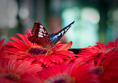 delicate beauty (elyse patten) Tags: flowers blue red flower animal butterfly insect spring airport singapore gerbera changiairport changiinternationalairport canon40d elysepatten
