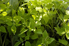 Physalis subglabrata TALL GROUND CHERRY (gmayfield10) Tags: geo:lat=42033506n geo:alt=655 geo:lon=87502900w taxonomy:binomial=physalissubglabrata taxonomy:common=tallgroundcherry