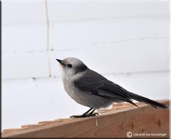 Camp Robber - Gray Jay (Birdman of El Paso) Tags: camp bird grey texas jay tx joe el lila paso birdman robber soop grossinger