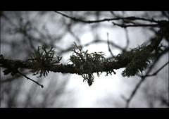 Vivement le printemps (...::: Antman :::...) Tags: winter tree nature hiver lichen arbre canoneos450d