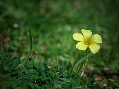 Unique (rubioz) Tags: flower verde green yellow spring raw flor olympus amarillo processing bloom lonely lightroom solitaria e510 150mm uro