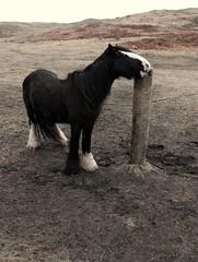 "Itchy nose!!! (mayaq) Tags: ireland horse animal pole pony scratch itchy ih kon irlandia zwierze mayaq mywinners ""flickraward"""