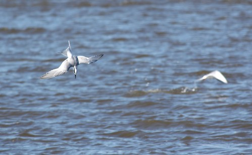 Forster's Tern - fishing #2