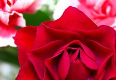 Peek-a-Boo (Toria Clark) Tags: red flower floral up rose closeup close tea petal