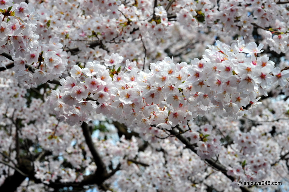 Beautiful Sakura.