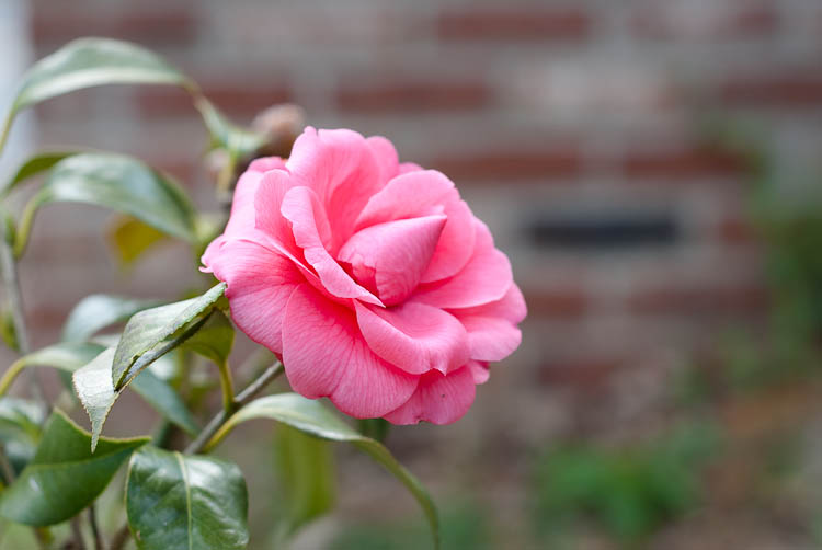 camellia 1st bloom