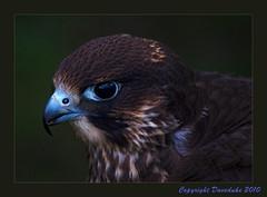 Falcon (daveduke) Tags: falcon blueribbonwinner sigma70300mm goldstaraward goldstarawardgoldmedalwinner sonyalphadslra200