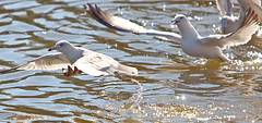 Getting the feet wet... (HisPhotographs.com) Tags: statepark seagulls birds photoshop ga georgia seagull adobe savannah openmouth bif sav whitebird birdinflight cs3 openwings lakemayer seagullsinwater