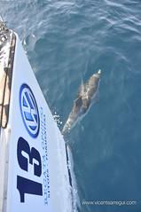 Ophiusa - Los delfines nos acompañan algunos tramos jugando con la proa