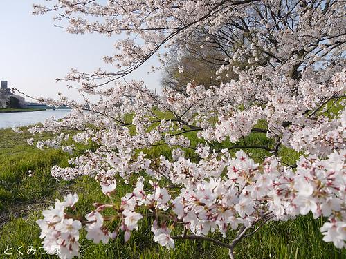 2010年4月8日の桜