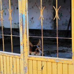 _ND36318 (Vilhelm Sjostrom) Tags: door shadow dog building abandoned yellow de geotagged mexico lenstagged puerta nikon bars watch guard jalisco tequila rails nikkor d3 doorsandwindows puertasyventanas 2470mmf28g elmurosnoshablan thewallsspeaktous