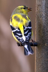 20100411_Finch_1818 (Rock Steady Images) Tags: ontario canada bird nature yellow canon eos spring tripod birdfeeder finch 7d birdwatching topaz yellowfinch alliston canonef70300mmf456 7pointsystem bypaulchambers photoshopcs4 rocksteadyimages