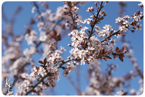 Day 104 - Flowering Plum Tree