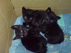 6 blue eyes (Bibi) Tags: blue cats black cute azul chats furry noir gatos preto bleu kitties gatinhos chatons fofinhos pretinhos allanpoe