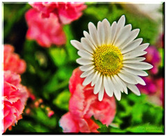 flower (Father Tony) Tags: flower photo adobephotoshopelements canonefs1755mmf28isusm canoneos50d ortoneffect adobephotoshopelements7