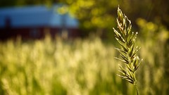 49.365 - a little something in the sunset (djdphotos) Tags: sunset barn spring weed nikon bokeh sunrays d90 project365 afmicronikkor60mmf28d
