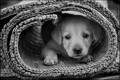 Little One (Sukanto Debnath) Tags: street bw dog white black cute puppy little straw stray pup mongrel mattress debnath sukanto sukantodebnath