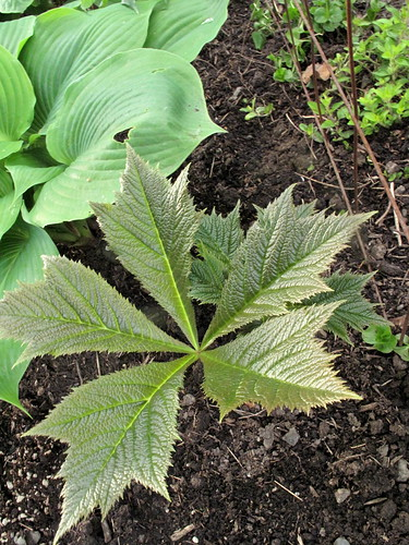 Rodgersia podophylla 'Rotlaub'