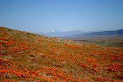 DSC_1737 (henryclaywhoneverdies) Tags: california flowers orange field spring poppy poppies lancaster bloom blooms antelopevalleypoppyreserve