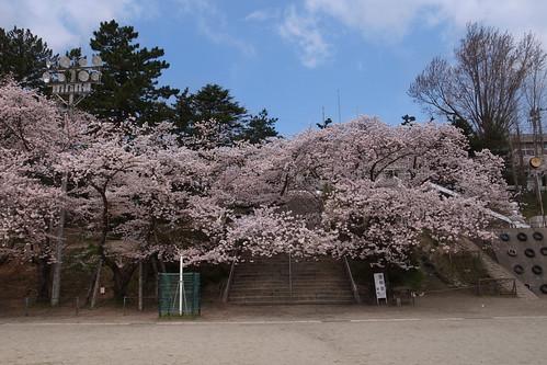 内野の桜 2010 昼の部