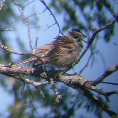 sparrow on a tree in april