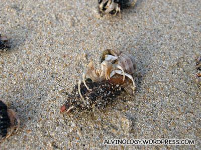 More hermit crabs