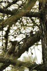 Squirrel (Berto Means Berto  bertomeansberto@gmail.com) Tags: wild mountain rabbit nature animal trekking nikon path wildlife natura d200 montagna valledaosta saintvincent lepus valledaoste fabiobertuzzo bertomeansberto inaltoorg