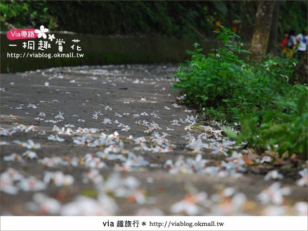 【苗栗油桐花季】苗栗頭屋~夢幻桐花步道6