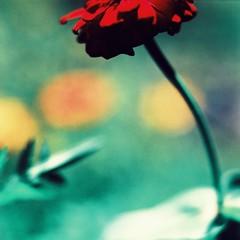 mamiya tlr macro attempt : flower (darkcanopy) Tags: red vacation flower color colour macro green 120 mamiya film colors analog mediumformat xpro crossprocessed colours fuji crossprocess 120format velvia 28 analogue fujichrome mamiyac3 analogphotography f28 twinlensreflex c3 macrophotography aklan 80mm velvia50 filmphotography xprod mamiyasekor 80mmf28 mamiyatlr 80mm28 velvia50f parallaxerror mamiyac380mmf28 fujichromevelvia50f