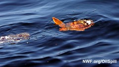 Young Sea Turtle Turned Red by BP Oil Spill