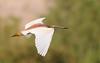 البلشون الذهبي (PhotoGrapherQ80 «KWS») Tags: birds kuwait adel abdeen