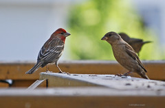 birds wildlife finches backyardbirds
