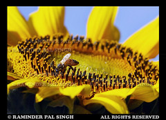 A bee baby :) (Raminder Pal Singh) Tags: colors yellow petals spring wings pattern bee honey sunflower nectar pollen sucking honeybee bestofflickr pollination bestshots vibrantcolors niceflower beeonflower canonshot sunflowerfield vibrantcolours colorsofindia flowerphotography bestflowers canon50d flickrsbest makinghoney abeautifulflower raminderpalsingh suckingnectar beecollectingpollen beecollectingnectar honeybeeonflower shotoncanon floweronflickr honeybeeatwork flowersurface
