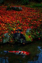 Fall foliage and koi