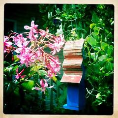 Fuchsia 'Miep'