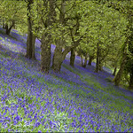 Malvern bluebells