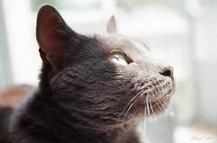 (Hillary Stein) Tags: pet cute window animal cat nose gold grey kodak gray adorable kitty fluffy ears fluff whiskers greeneyes 400 russianblue canonrebelk2 hillarystein
