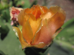 Macro Shot of Cactus Rose in Bloom (Robb Wilson) Tags: flowers roses cactus californiamissions sanjuancapistrano californianativeamericans oldcaliforniamissions