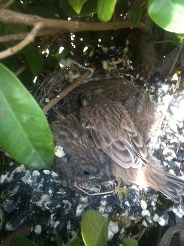 baby birds growing