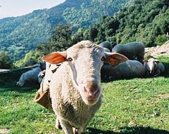 Mouton et transhumance en Cévennes
