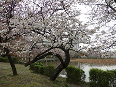 Sakura    (ddsnet) Tags: plant flower japan tokyo sony cybershot  cherryblossom  sakura to nippon   nihon hanami  backpackers   flower          tky   cherry blossom tkyto  japan hx1    flowerinjapan to tky